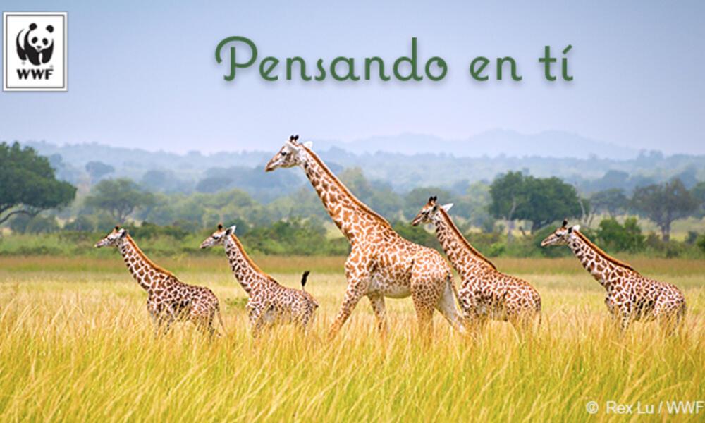 Giraffe ecard in Spanish