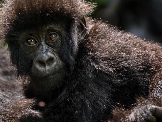 baby gorilla and adult gorilla