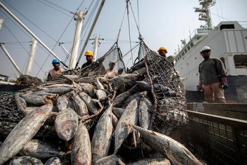 Workers unloading tuna fish catch, largely skipjack, Tema port, Ghana