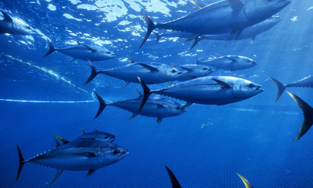 Yellow fin tuna swimming