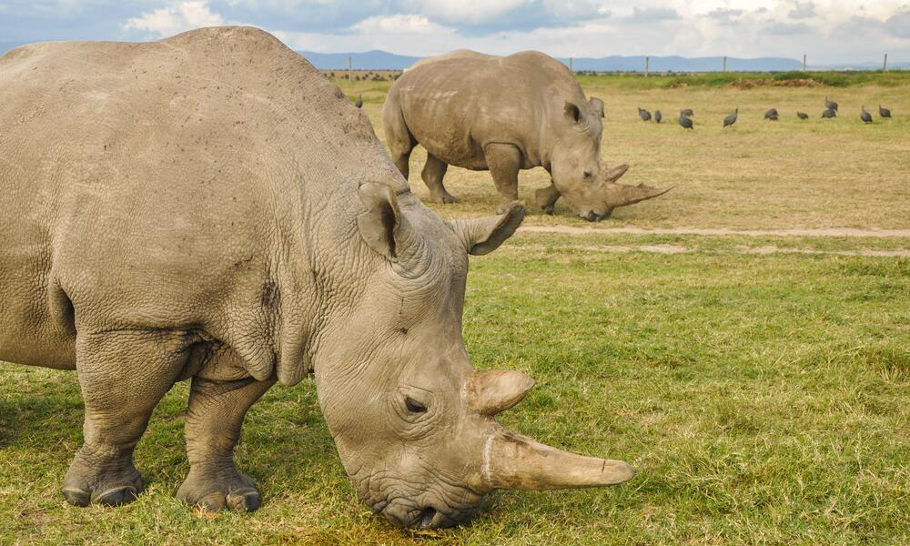 two rhinos in field_Kenya