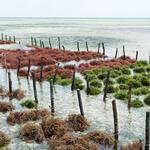 Rows of farmed seaweed sitting in the ocean