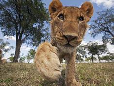 Curious_juvenile_lion_masai_mara_naturepl.com_anup_shah_wwf