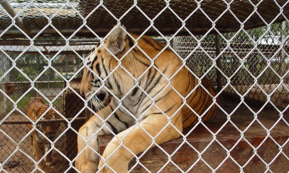 Tiger caged in captivitiy