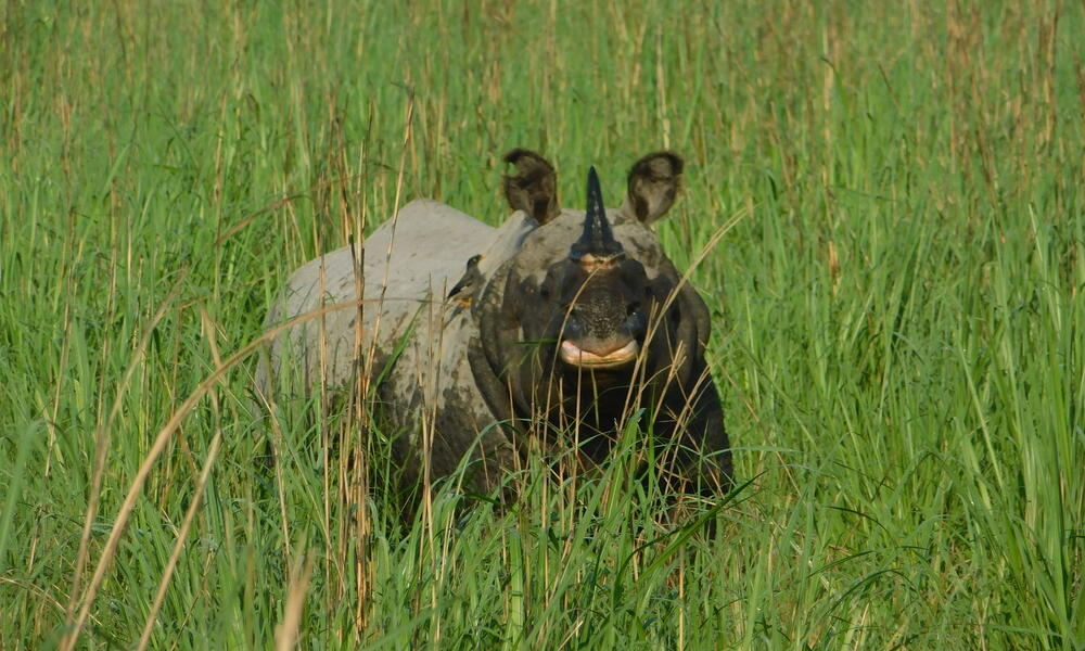 A greater one-horned rhino looks at the camera standing in tall green grass