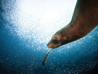 Sea lion with feather playing in fish school