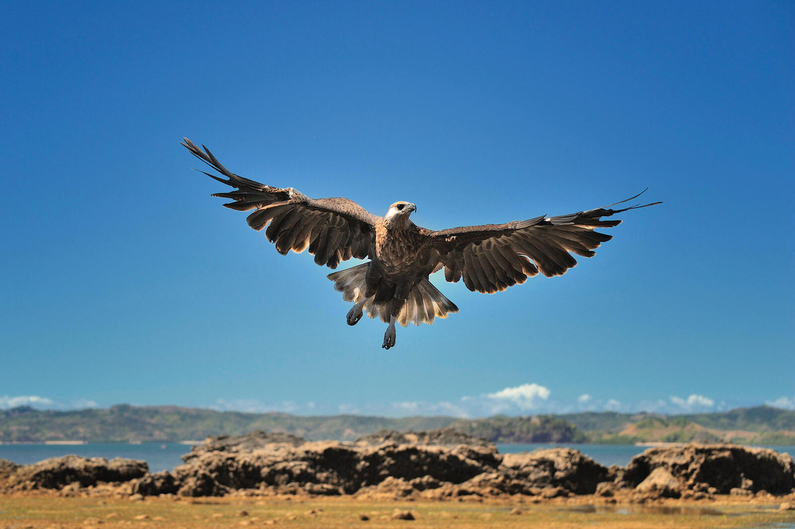 Madagascar fish eagle with wings spread