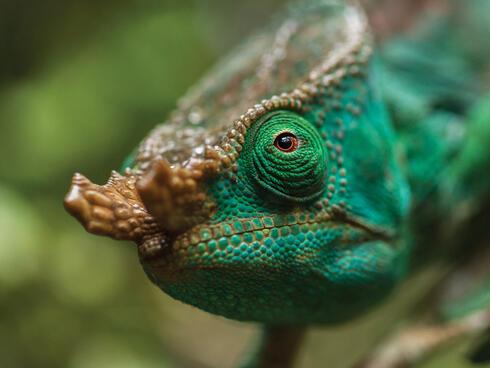 Green chameleon's head