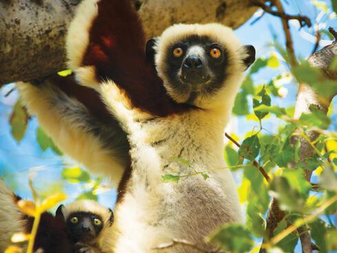 Lemur looks at camera