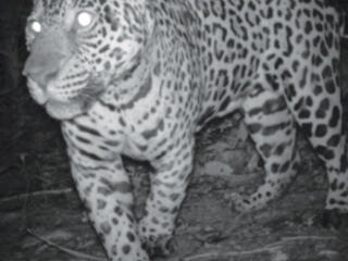 Jaguar walking close to camera