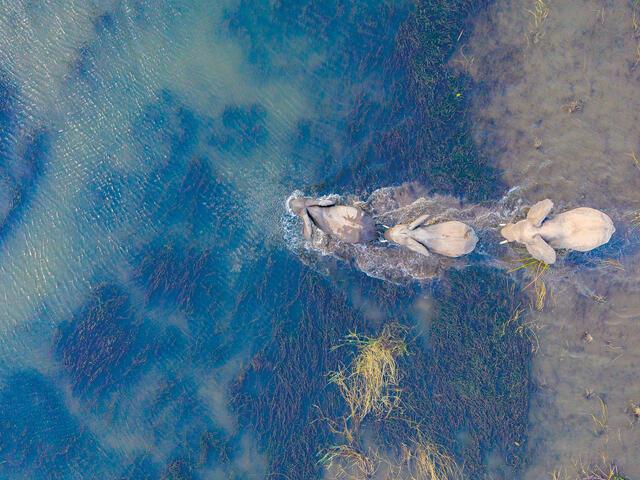 Aerial photo of three elephants wading through water