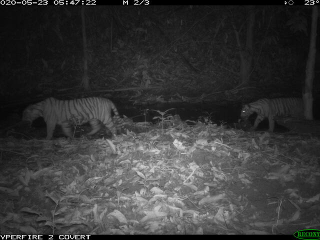 Black and white image of two Malayan tigers walking through their forest home at night