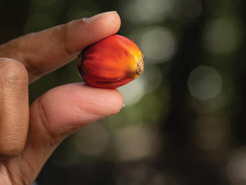 Close up view of a red palm fruit