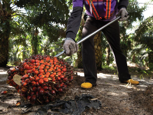 Worker uses tool to collect bunch of palm fruit