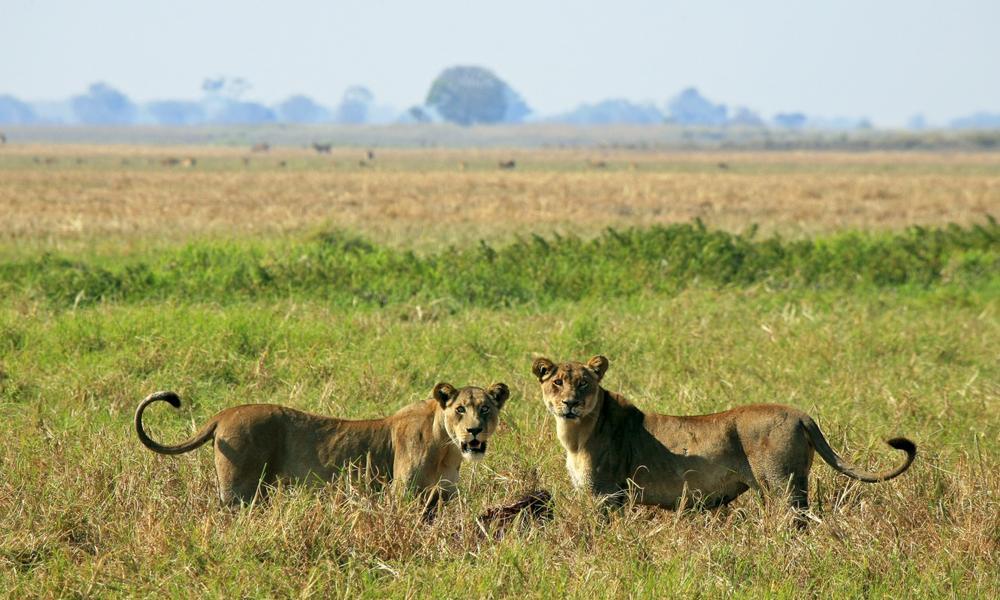 Lioness Kill