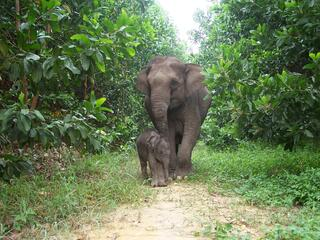 A baby Sumatran elephant and its mother walk through a small clearing in a lush forest