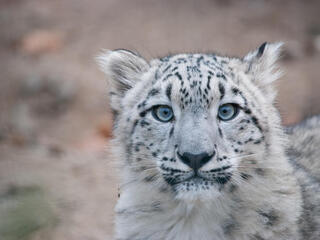 Close up portrait of a snow leopard cub looking at the camera