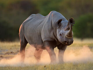Black rhinoceros kicking up dust at sunset, Etosha National Park, Namibia