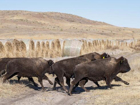 Bison run out of an enclosure into open space