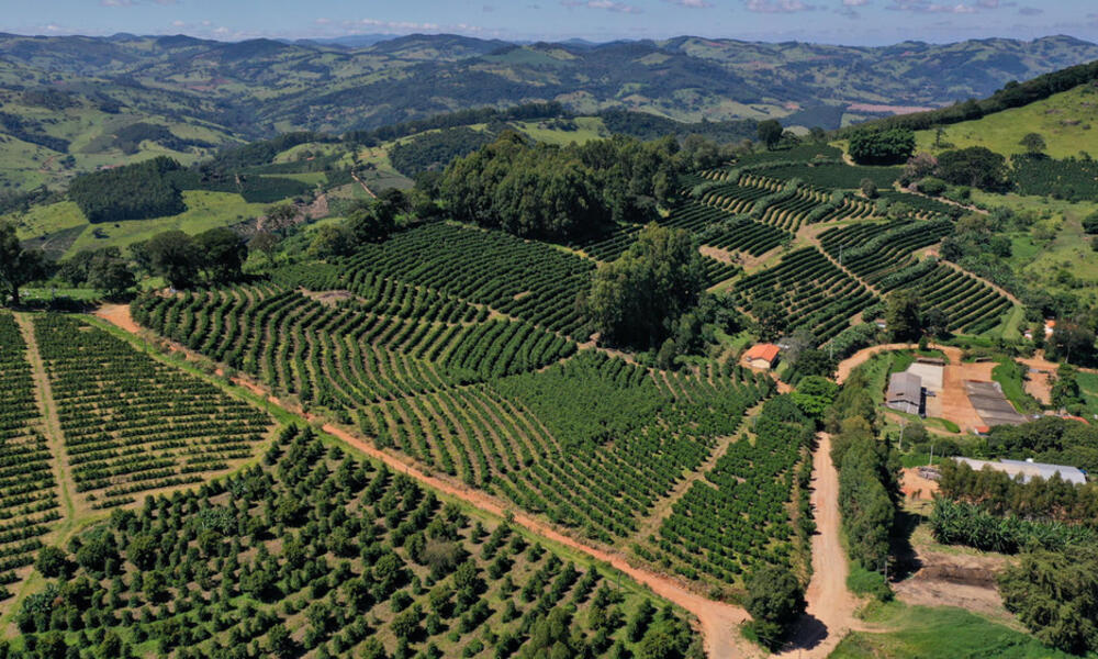 An aerial view of a lush, green coffee farm on a sunny day