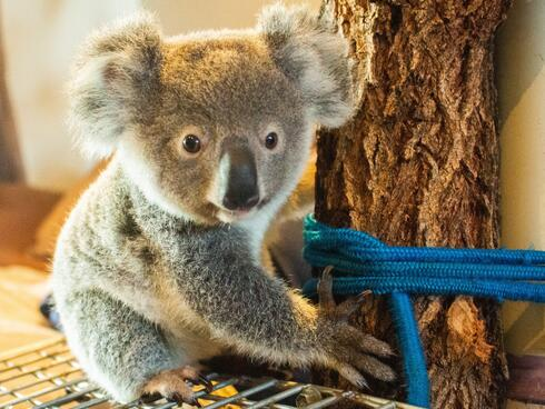 Profile of a baby koala holding on to a tree