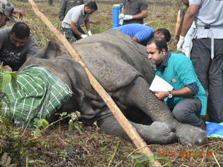 A vet tends to an elephant that is safely tranquilized and laying on the ground
