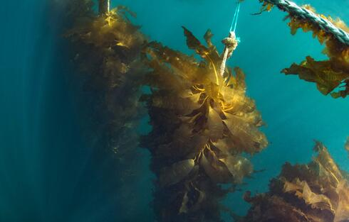 Underwater view of kelp growing in rows along a rope