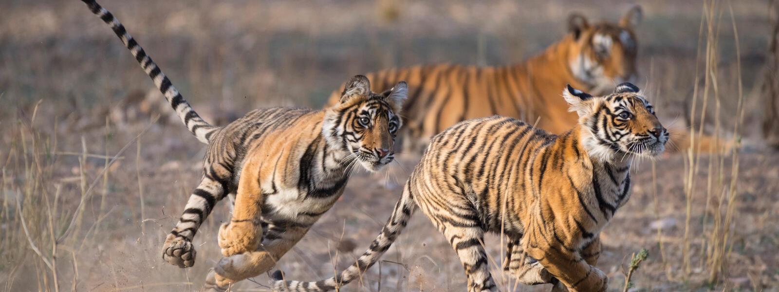 Tiger cubs at play, Ranthambore Tiger Reserve, India