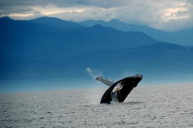 Whale %28c%29 j. maya nha