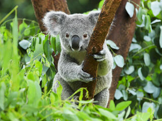 Closeup portrait of an adult koala in a green leafy tree