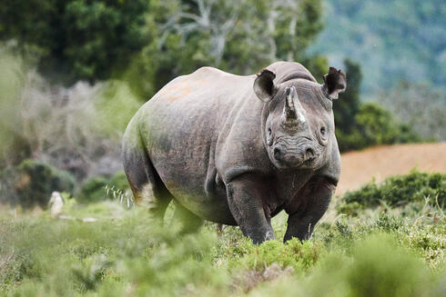 A portrait of a large adult black rhino looking at the camera surrounded by greenery in the landscape