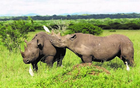 Two black rhinos  stand together in tall green grass with three white birds around them