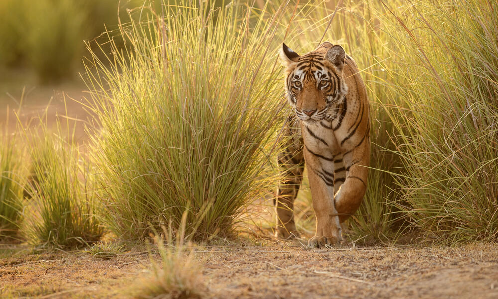 Tiger walking in tall grass in a beautiful golden light