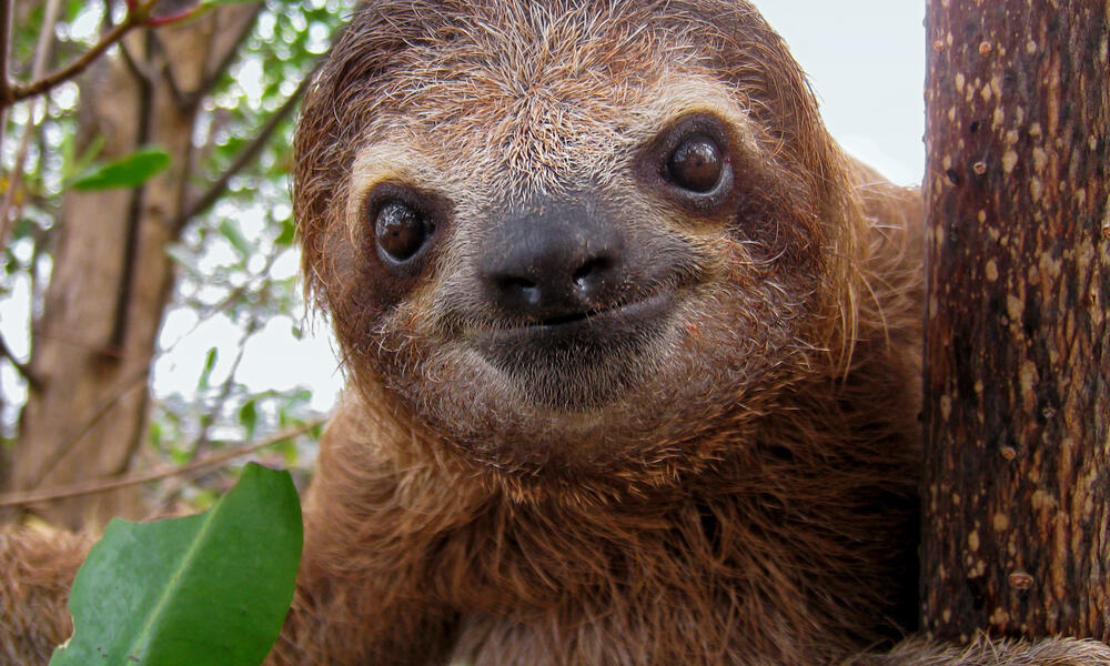 Cute face of young three-toed sloth, Costa Rica, Central America