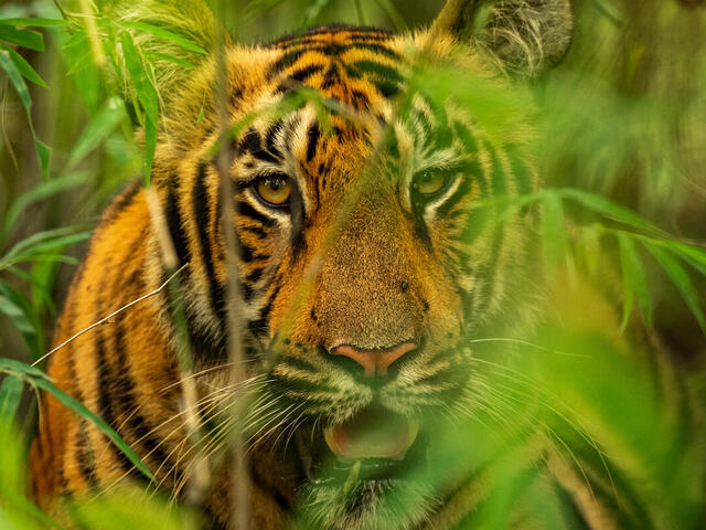 Close up portrait of an adult tiger in tall green reeds looking at the camera with its mouth open