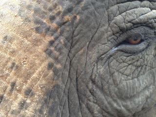 Close up of an Asian elephant.