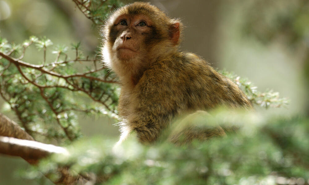 A barbary macaque sits in a tree looking up