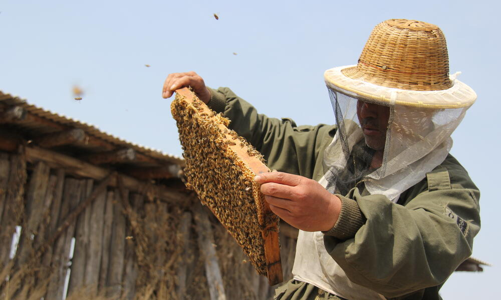 A man looks at honeycomb with bees flying around