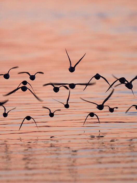 Shorebirds flying over a tidal slough at sunset in Togiak National Wildlife Refuge.