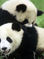 Giant pandas playing together