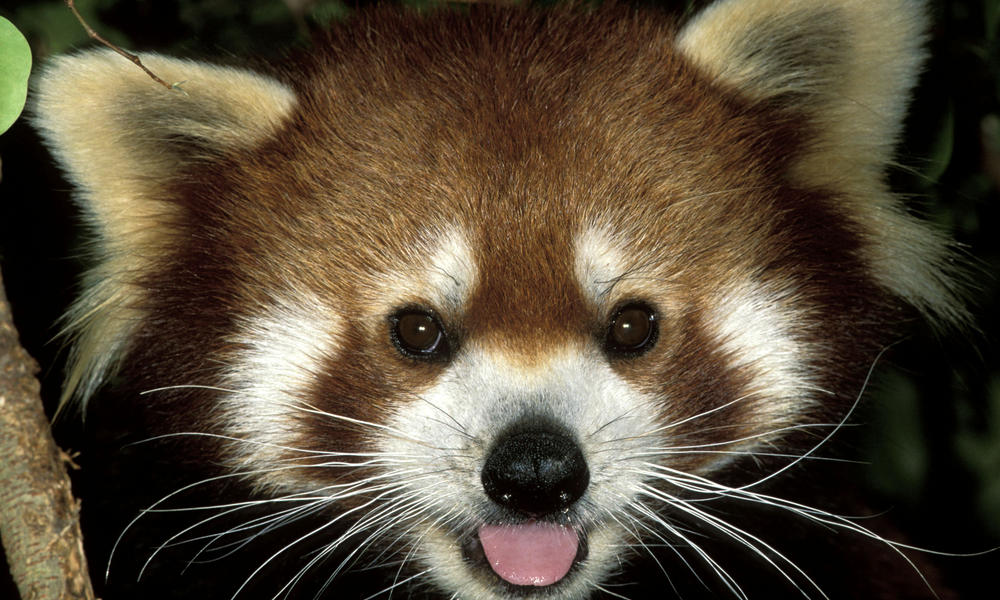 Where Do Red Pandas Live? And Other Red Panda Facts | Stories | WWF