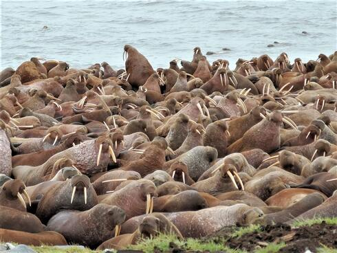 Closeup view of large group of walrus all huddled together along a coastline with water in the background