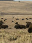 More than 4,000 bison -- the largest land mammal in North America -- reside in Yellowstone National Park.