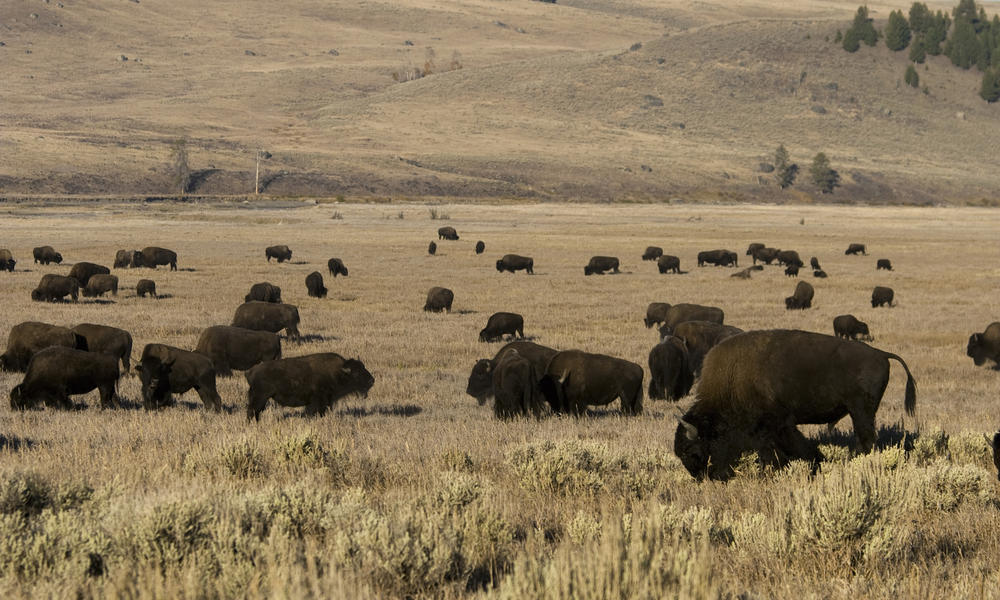 Yellowstone National Park Tours Wwf