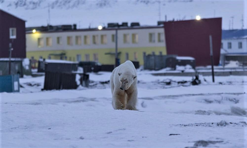 An adult polar bear walking toward the camera on snowy ground with buildings in the background