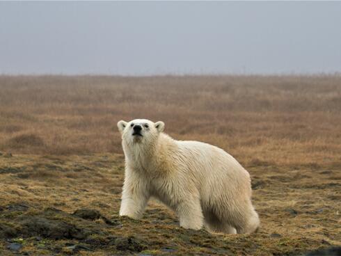 Adult polar bear walking along brown grass looking at the camera