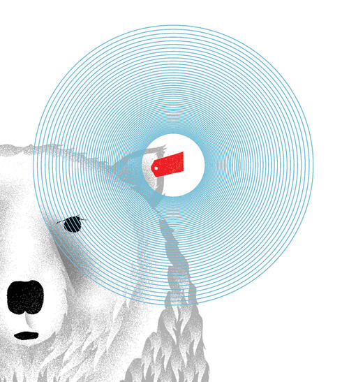 Graphic showing polar bear with ear tag