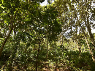 Mature trees in Copaiba restoration project, Atlantic Forest, Brazil