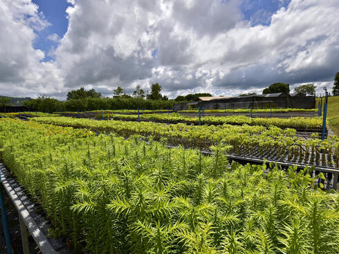 nursery plants in Copaiba nursery, Atlantic Forest, Brazil