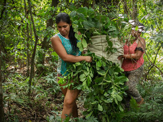 Women of the MATE project cooperative carry leaves out of the Atlantic Forest, Paraguay